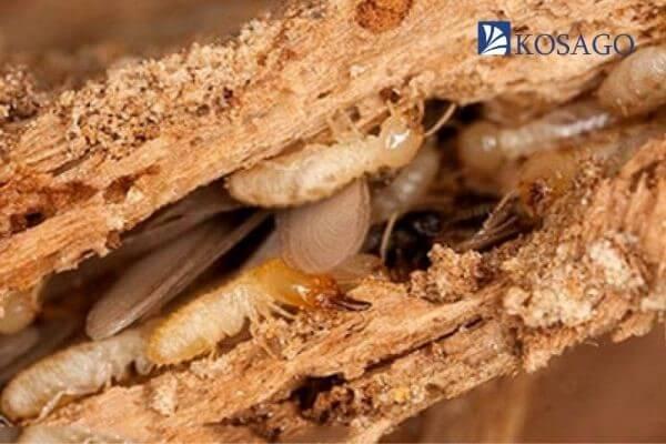 cách phát hiện và xử lý mối mọt trên sàn gỗ